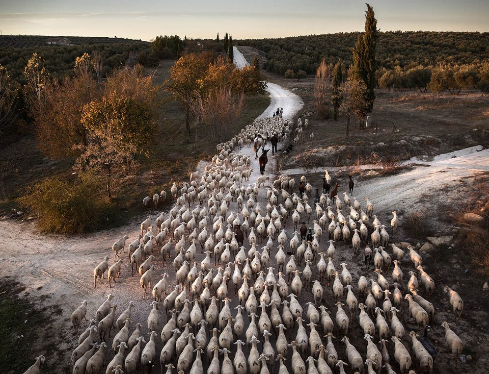 Trashumance in Spain